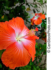 Hibiscus tropical flowers blossom in Rarotonga, Cook Islands