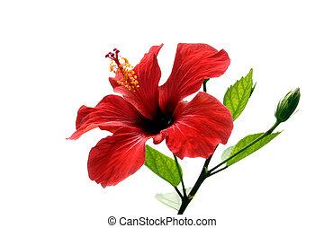 hibiscus, vrijstaand