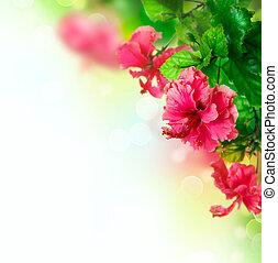 hibiskus, blomma, gräns, design, över, vit