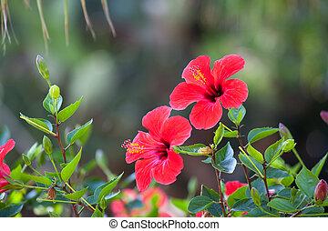 hibiskus, blomma, naturlig, över, bokeh, grön fond, röd