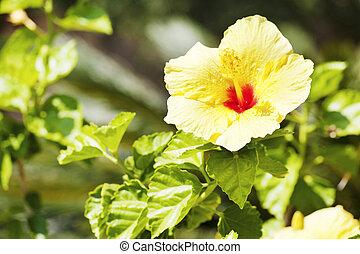 hibiskus, blomma, naturlig, över, gula gröna, bakgrund