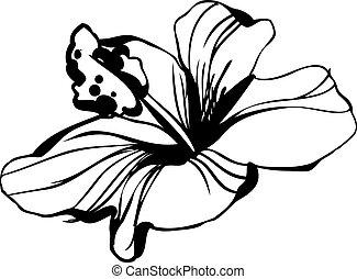 hibiskus, skiss, blomstrande, blomster knoppaas