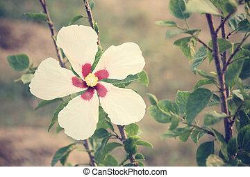 hibiskusbl�te