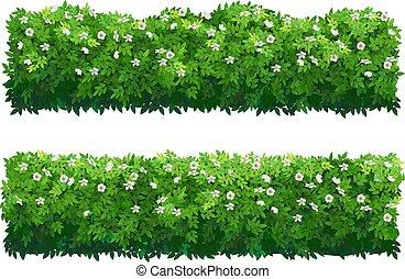 hibiszkusz, shrubs., bokor, buxus, zöld, hedge., virágzás, vagy