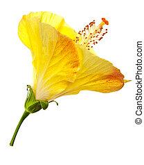 hibiszkusz, virág