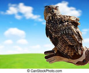 hibou aigle, falconer., main