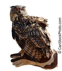 hibou aigle, ), (, main, fauconnier, bubo