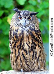 hibou, (bubo, aigle, capensis), cap