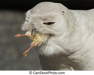 hibou, (bubo, scandiacus), neigeux