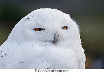 hibou neigeux, scandiacus), (bubo