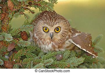 hibou, saw-whet, (aegolius, nord, acadicus)