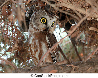 hibou, saw-whet, nord, dissimulation