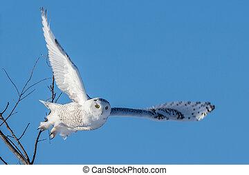 hibou, vol, neigeux, -, diffusion, ailes