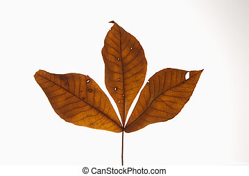 Branch of three brown Hickory leaves against white background.