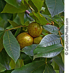 Hickory Nuts - The hickory tree is such a versatile tree...