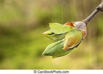 Hickory Tree Bud - Closeup of a hickory tree leaf bud