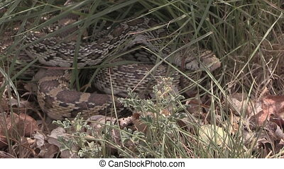 Hidden Bull Snake - a bull snake hiding in the grass