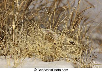 a partially hidden cottontail rabbit in tall grass