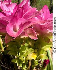 Hidden Ginger Lily - Hidden Ginger (Curcuma petiolata)...