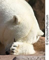 Hide & Seek - Polar Bear playing hide & Seek