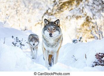 hideg, két, tél, erdő, farkasok