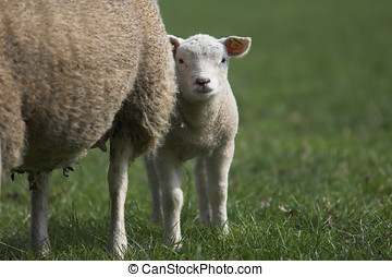 Hiding behind mom - Cute young lamb peering out from behind ...