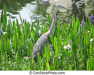 Hiding great blue heron
