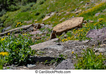 Hiding in Hidden Lake Trail, Glacier National Park, Montana,...