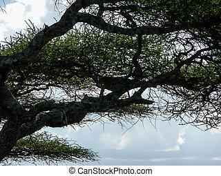 hiding leopard in tree