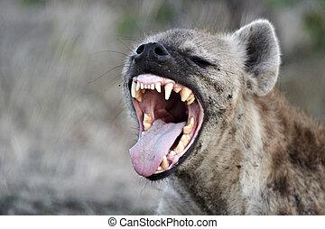 hiena moteada, crocuta), (crocuta