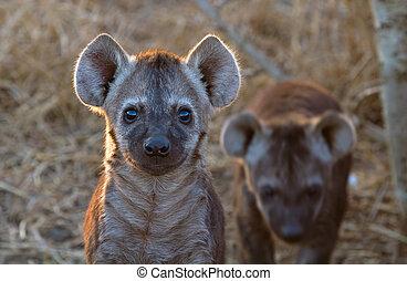 hiena, nacional, áfrica, kruger, parque, cachorro, sur