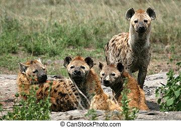 hiena, serengeti, -, áfrica