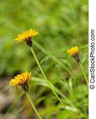 hieracium, alpinum., blume