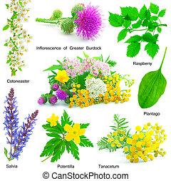 hierba, medicative, aislado, conjunto, fondo., blanco