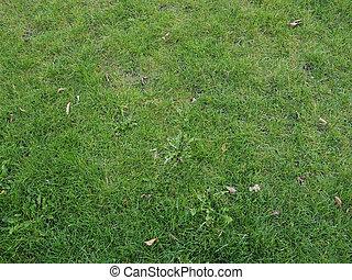 hierba verde, pradera, plano de fondo