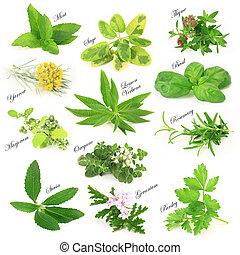 hierbas, colección, aromático, fresco