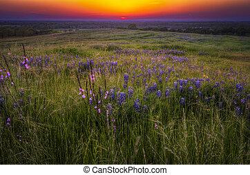 hierbas, ocaso, bluebonnets