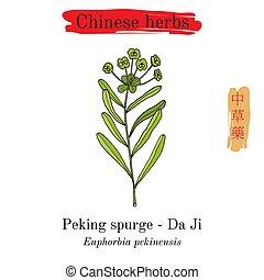 hierbas, pekín, china., spurge, medicinal