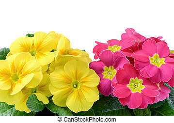 high angle fiew of yellow and punk primroses in flowerpot at white isolated backgrounds