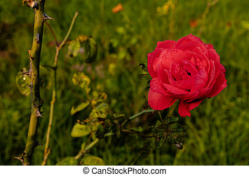 high angle of beautiful red rose along with thorns branches in the background