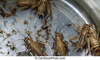High angle perspective of grouped crickets in container - A...