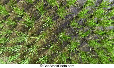"""High Angle Shot of Lowland Rice on a Farm - """"Overlooking,..."""