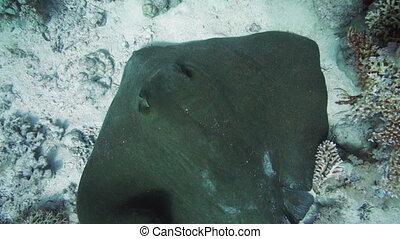 High angle view of Feathertail stingray (Pastinachus sephen)...