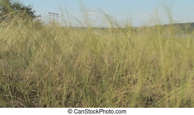 High autumn grass sways in the wind