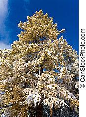 larch under a snow