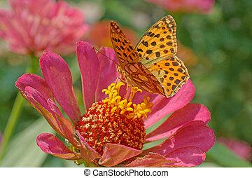 butterfly on pink zinnia flower
