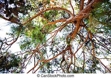 High cedar tree on the sky sky. The cedar tree is very tall and bears fruits with pine nuts.