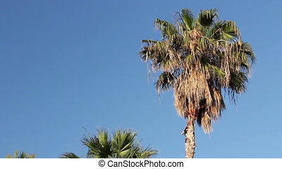 High coconut palm tree on blue sky - View from ground on...