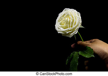 High contrast of black and white of hand holding the white rose on black background
