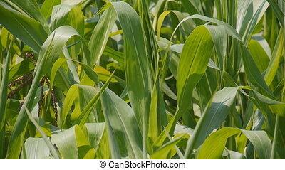 High corn stalks closeup